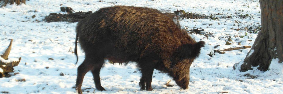 Schwarzwild Jägerschaft Arnstadt